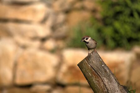 Passer montanus. Sparrow sitting on wood at sunset. Blurred background photo Фото со стока