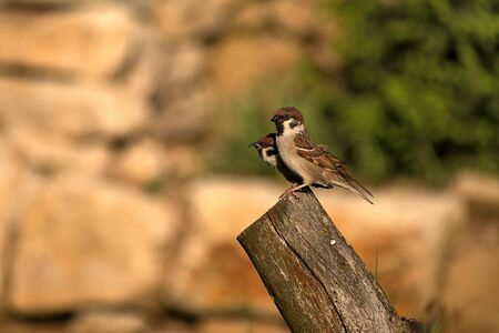 Passer montanus. Two sparrows sitting on wood at sunset. Blurred background photo
