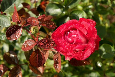Red rose with water drops. The sun shines on a rose