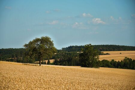 Rural landscape. Field with ripening grain. Forest and blue sky