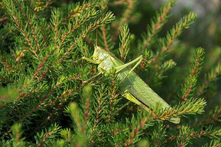 Tettigonia viridissima. Grasshopper on spruce branches. The sun shines