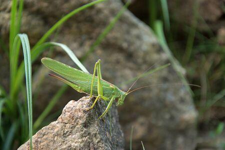 Tettigonia viridissima. Green grasshopper sits on a stone. The sun shines