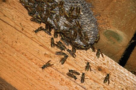 Vespula vulgaris. Wasp nest in the attic of the house