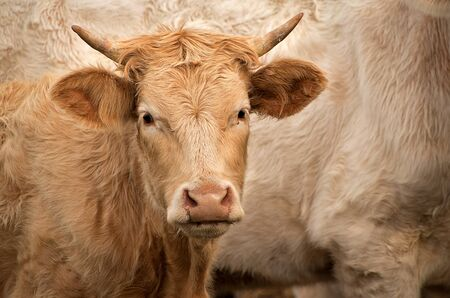 Cows in the pasture. White cattle living outdoors in nature. Meat breed. Young cow.
