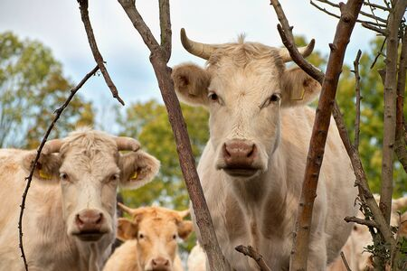 Cows in the pasture. White cattle living outdoors in nature. Meat breed. Фото со стока