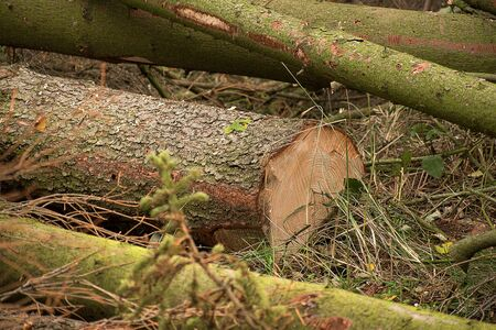 Felled trees that are infested with bark beetle. Wood lies in the forest.