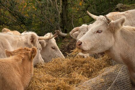 Cows in the pasture. White cattle living outdoors in nature. Meat breed. Cows eat straw.