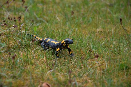Salamandra salamandra. Salamander climbs in the grass. Strongly endangered animal species. Black-yellow color of amphibian