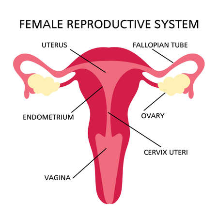 REPRODUCTIVE SYSTEM Female Medicine Education Diagram Scheme Human Hand Draw Vector Illustration
