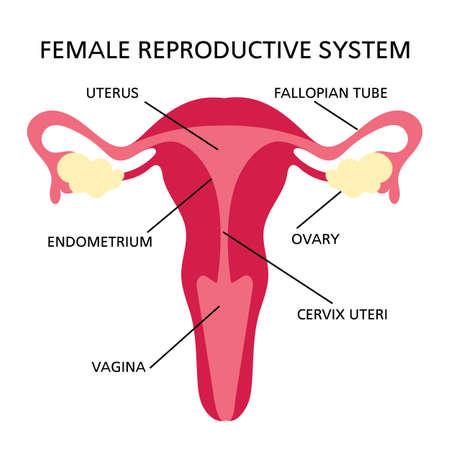 REPRODUCTIVE SYSTEM Female Medicine Education Diagram Scheme Human Hand Draw Vector Illustration