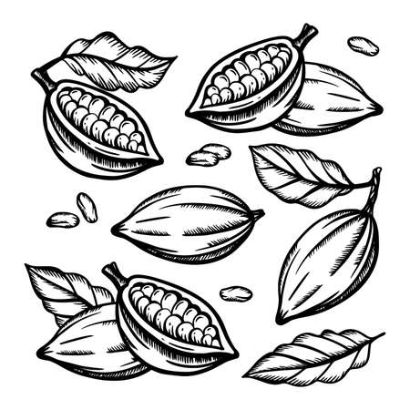 COCOA FRUIT And Cocoa Beans Of Theobroma Tree Monochrome Design On White Background In Vintage Style Hand Drawn Clip Art Vector Illustration Set For Print