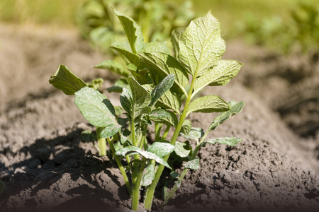 Close up on young green potato sprout growing on the field. Stock Photo