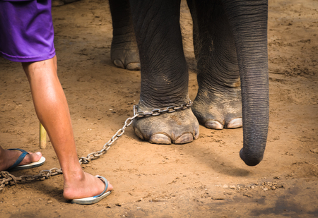 Chained elephant feet and his mahouts feet. Elephant and his keeper.