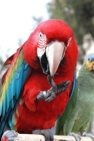 Red macaw parrot in forest