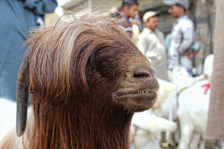 Fancy Goat in Sunday Market, Animal market for eid ul adha in pakistan or india.