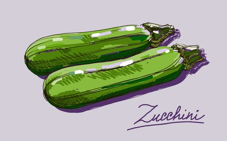 courgette: Vector hand drawing realistic juicy  zucchini Illustration