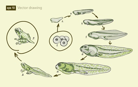 metamorphosis: Vector illustration of the life cycle of  frog Illustration