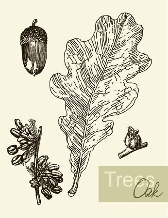 quercus: Vintage graphic vector image of leaves, flowers and fruits of the oak. Illustration