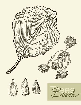 beech: Vintage graphic vector image of leaves, flowers and fruits of beech.