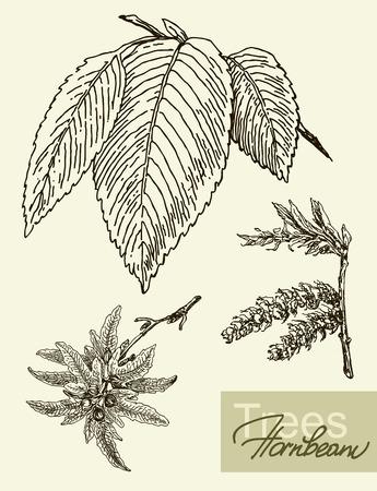 hornbeam: Vintage graphic vector image of leaves, flowers and fruits of hornbeam. Illustration