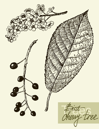 Vector leaves, flowers and fruits of the viburnum. Illustration