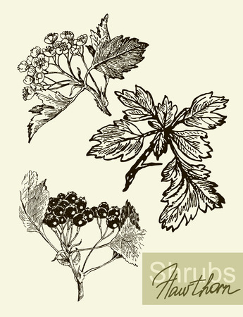 viburnum: Vector leaves, flowers and fruits of the viburnum. Illustration