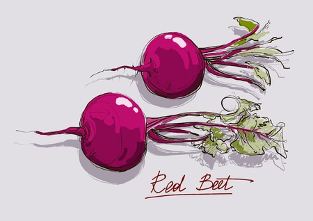 beet root: vector illustration beautiful root vegetable of red  beet Illustration