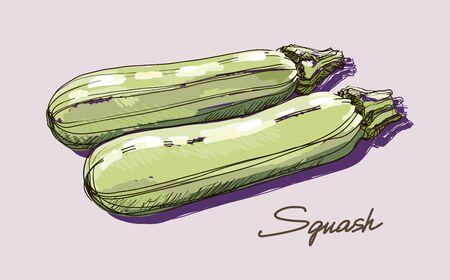 zucchini: Vector hand drawing realistic juicy ripe zucchini