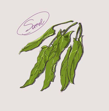 sorrel: Vector hand drawing of leafy green sorrel Illustration