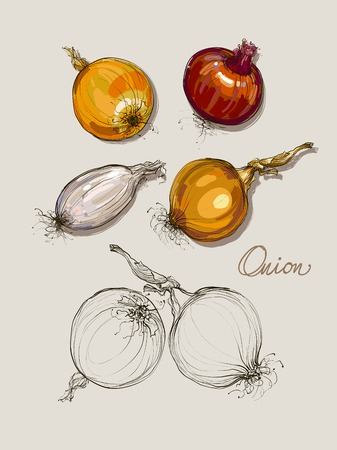varied: vector hand drawing realistic collections varied onions Illustration