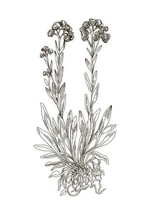 Helichrysum arenarium Çizim
