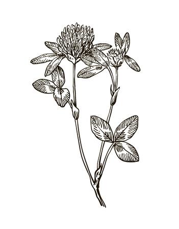 Ink clover herbal illustration. Hand drawn botanical sketch style. Vector illustration