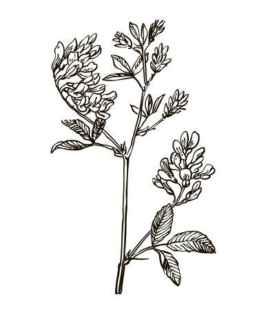 Vector images of medicinal plants. Detailed botanical illustration for your design. Lucerne