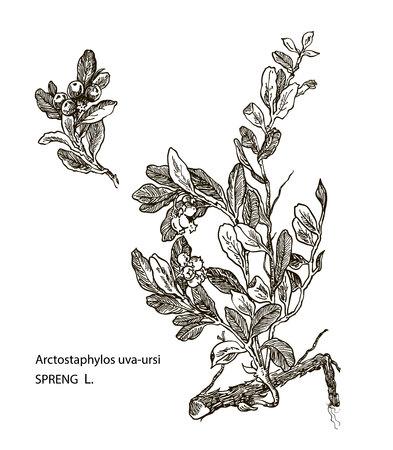 herbaceous: Vector images of medicinal plants. Detailed botanical illustration for your design. Spreng