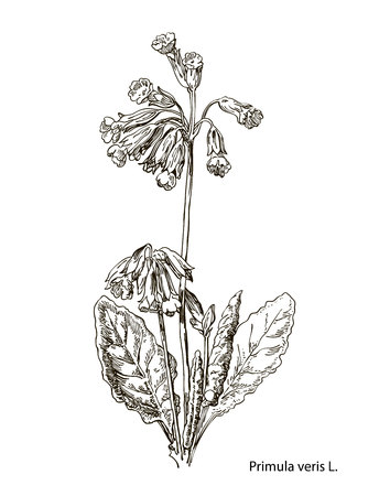 Primula officinalis. Hand drawn vector botanical illustration of valerian on white background. Wild grasses and flowers. Illustration