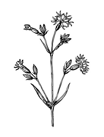 Cockooflower. Plants of dry meadows. Wildflowers collection in outline style for natural, organic, health care products,aromatherapy. Botanical illustration.Flower lined isolated on a white background. Vector