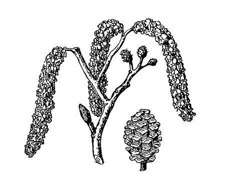 Aliso. Vector hojas, flores y frutos del aliso. Ilustración botánica detallada para su diseño. Imágenes vectoriales de plantas medicinales.