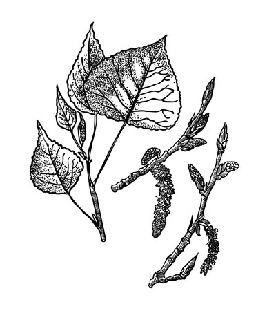 Feuilles, fleurs et fruits du peuplier.
