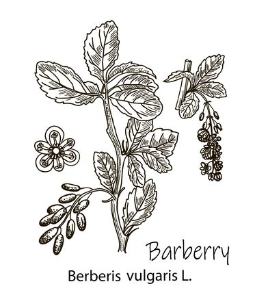 Drawing sketch of barberry branches isolated on the white background. Botanical illustration.
