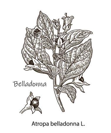 Botanical illustration of Belladonna. Hand drawn sketch of poisonous plant - Atropa belladonna. Dangerous beautiful flowers Ilustrace