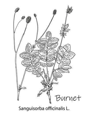 Outline drawing of a burnet. A plant hand drawing. Black and white flowers and leaves. Botanical vector illustration. Illusztráció