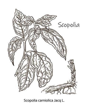 Scopolia, vintage engraved illustration. More realistic botanical illustration. Image for your design.