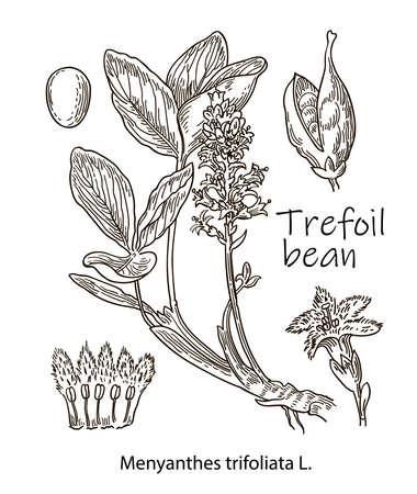 Trefoil bean, vintage engraved illustration. More realistic botanical illustration. Image for your design. Ilustração Vetorial
