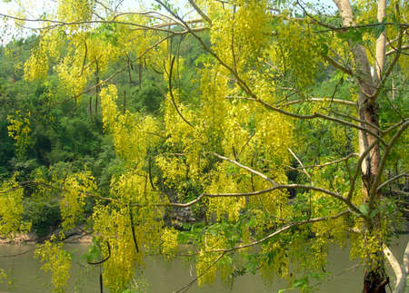 Yellow tree on the background of vegetation. Thailand