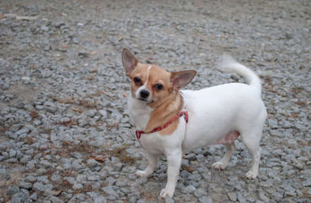 Chihuahua. Little fat and funny dog