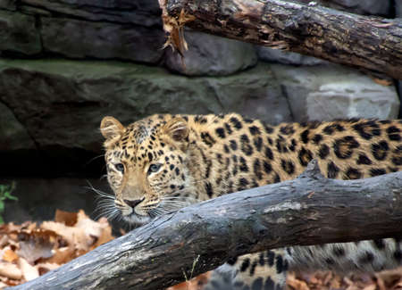 Amur leopard Stockfoto