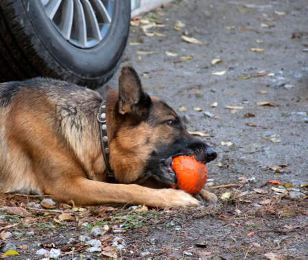 Photo German shepherd with a ball Stockfoto