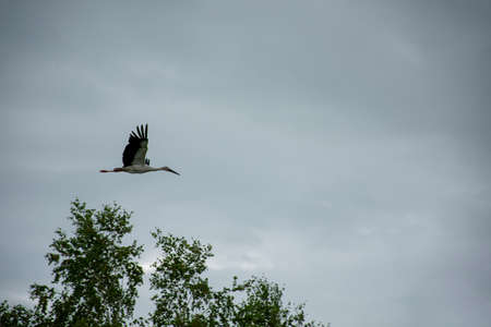 Russia. far East. Summer rain. Picture of a flying stork.