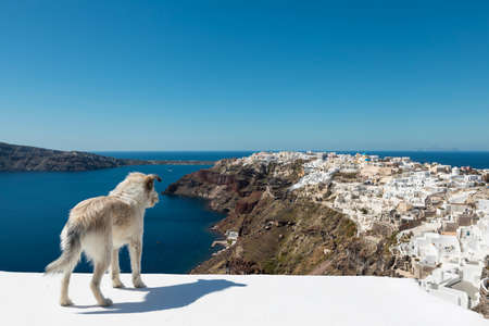 Stray Dog Overlooking Oia Santorini
