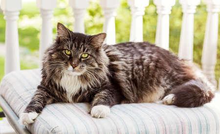 Maine Coon Cat On Porch Standard-Bild